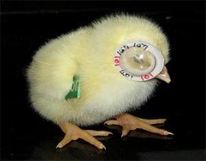 lens-induced-myopia-chicks