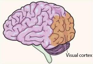 visual_cortex