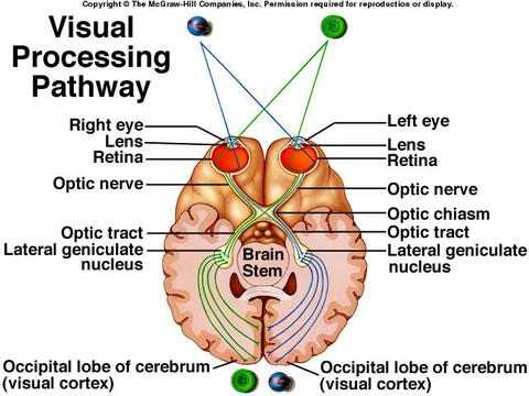 visual-cortex