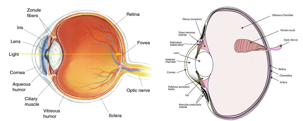 Lens Induced Myopia Investigative Ophthalmology Endmyopia