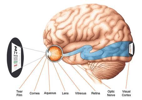 eye-brain